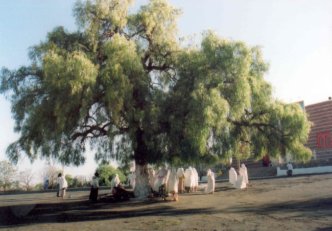 The Peace Prayer Tree, Asmara - Pic Helena Mulkerns